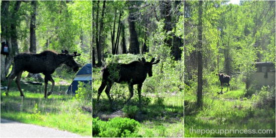 Moose at Gros Ventre